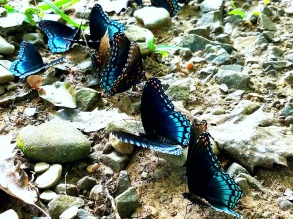 Red-spotted Purple Brush-footed Butterflies
